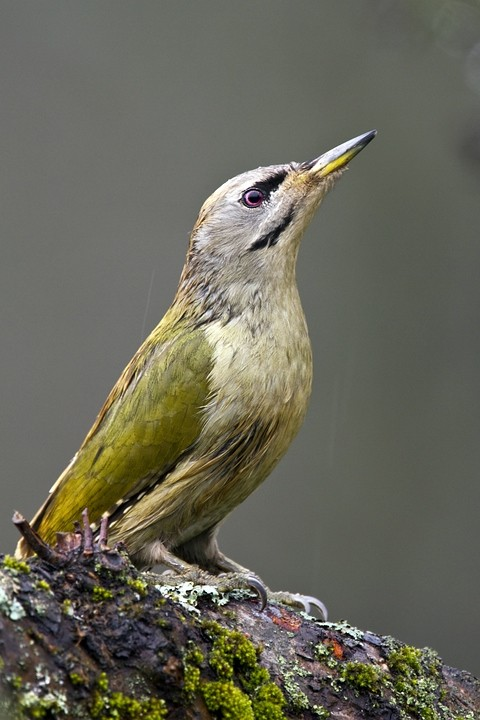 Grauspecht (Picus canus) / Grey-headed Woodpecker