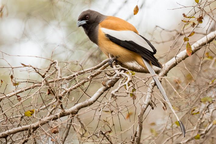 Wanderbaumelster (Dendrocitta vagabunda) / Rufous treepie