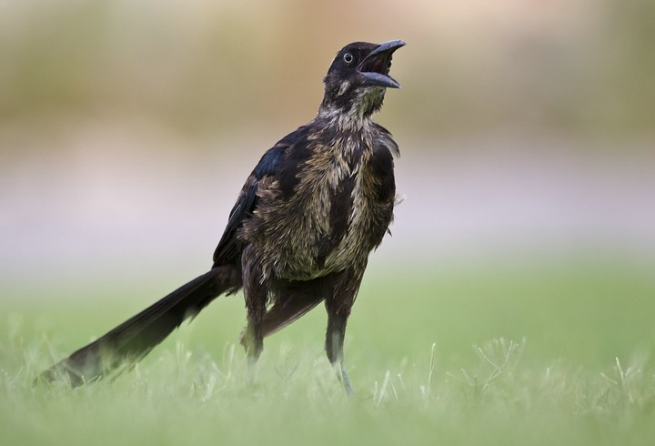 Dohlengrackel (Quiscalus mexicanus) / Great-tailed Grackle