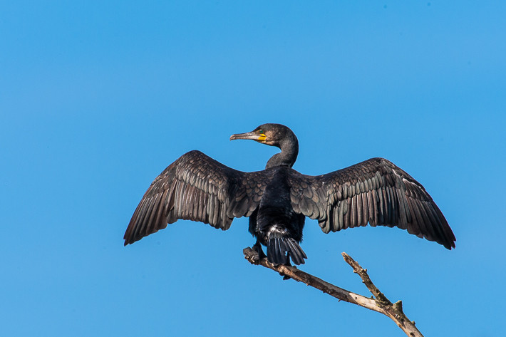 Kormoran (Phalacrocorax carbo) / Great Cormorant