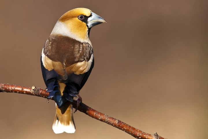 Kernbeißer (Coccothraustes coccothraustes) / Hawfinch