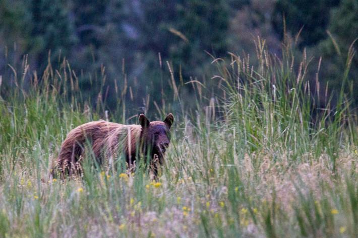 Grizzlybär (Ursus arctos horribilis), bei Dunkelheit, gecroppt und aufgehellt bei ISO 6400. ;-)