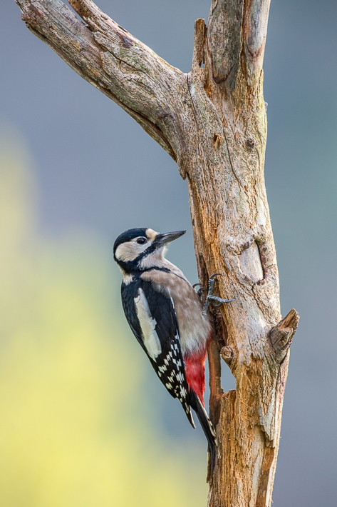 Buntspecht (Dendrocopos major) / Great Spotted Woodpecker
