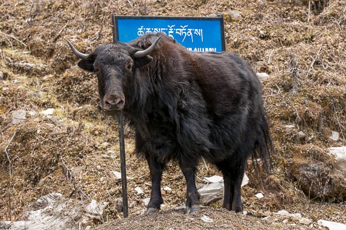 Neben dem typisch einheimischen Yaks begegneten uns jedoch auch Kühe mit europäischen Vorfahren.