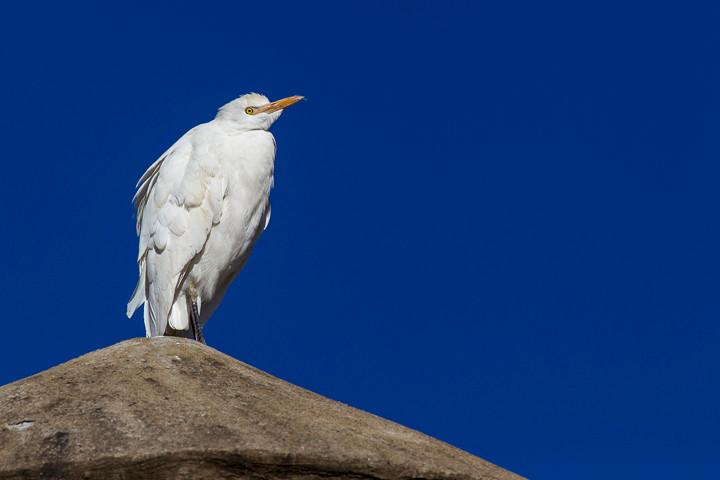 Silberreiher (Casmerodius albus) / Great Egret