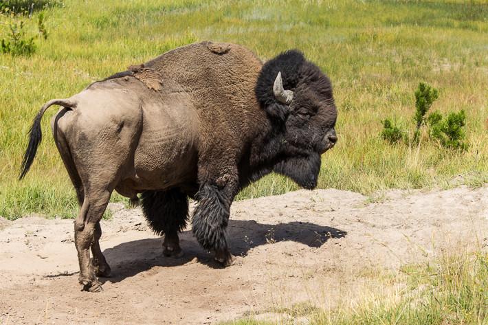 Bison im Hayden Valley