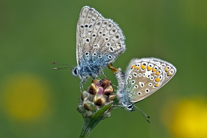Hauhechel-Bläuling (Polyommatus icarus) / Common Blue