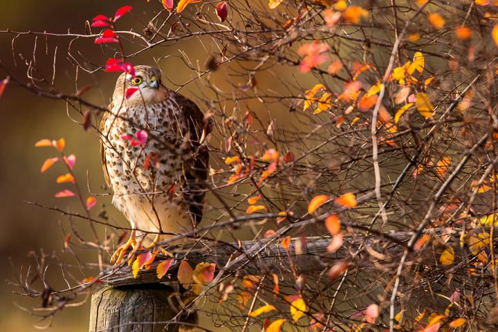 Der Sperber lässt sich gelegentlich - gut versteckt  - an der Winterfütterung blicken.