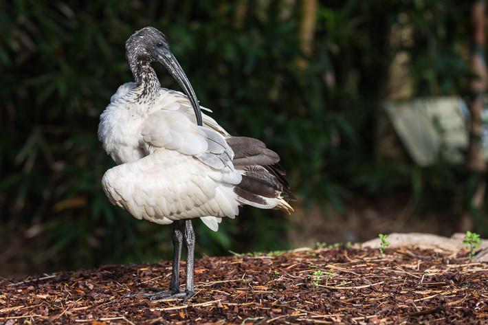 Molukkenibis (Threskiornis molucca) / Australian White Ibis
