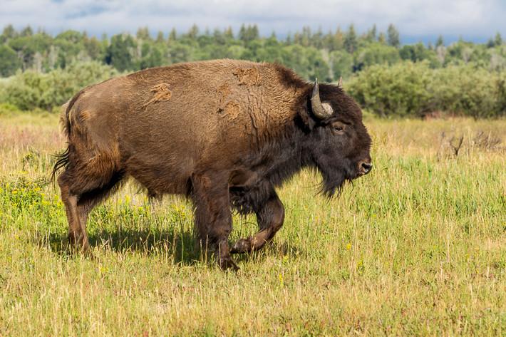 Amerikanischer Bison (Bison bison) / American bison