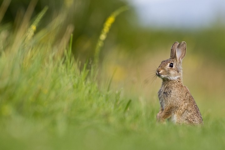 Wildkaninchen (Oryctolagus cuniculus) / European Rabbit