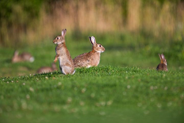 6 Kaninchen auf einem Fleck - keine Seltenheit.