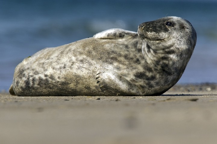 Kegelrobbe (Halichoerus grypus) / Grey Seal