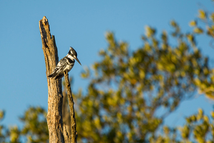 Graufischer (Ceryle rudis) / Pied Kingfisher; wildlife St. Lucia South Africa