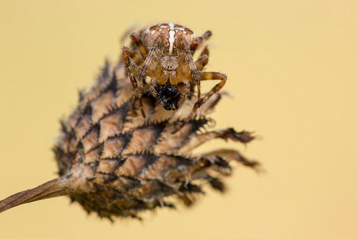 Die Kreuzspinne verspeiste außerhalb ihres Netzes auf einer abgebrochenen Pflanze ihre Beute.