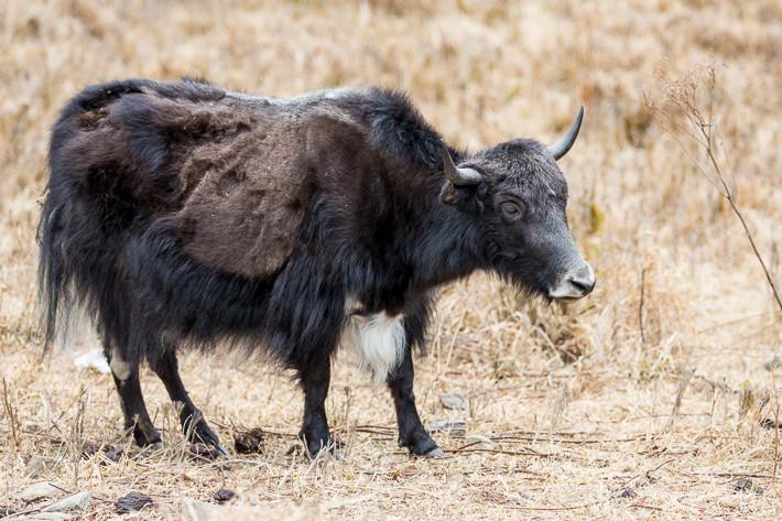 Yak (Bos mutus) oder auch (Tibetischer) Grunzochse.