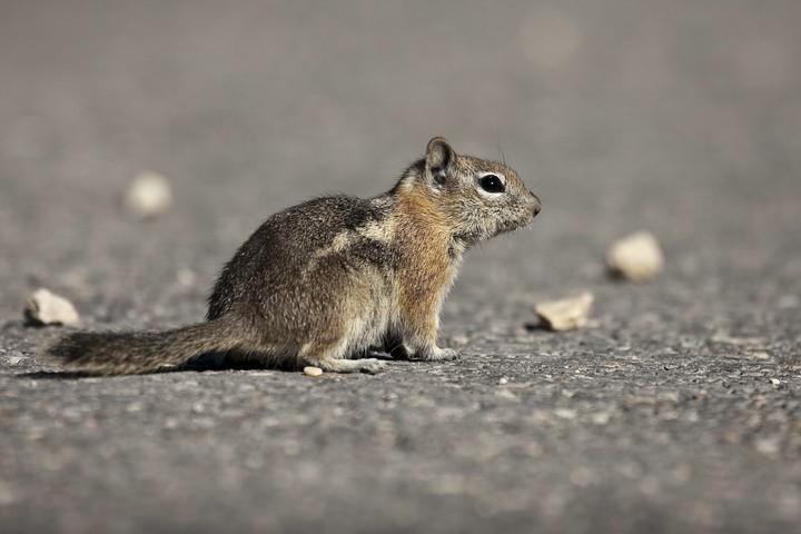 Goldmantel-Ziesel (Spermophilus lateralis) / Golden-mantled ground squirrel (Callospermophilus lateralis)