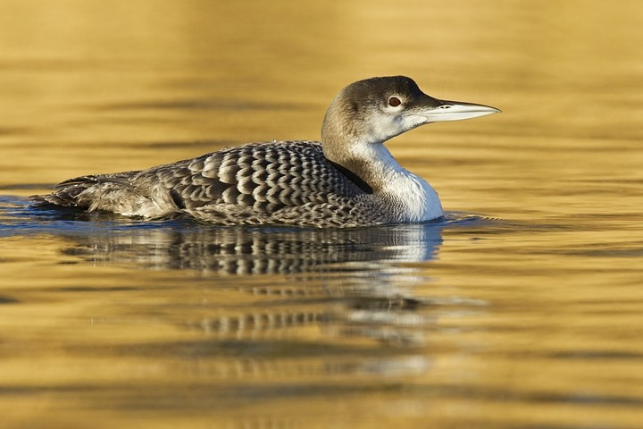 Eistaucher (Gavia immer) / Great Northern Loon, Great Northern Diver or Common Loon