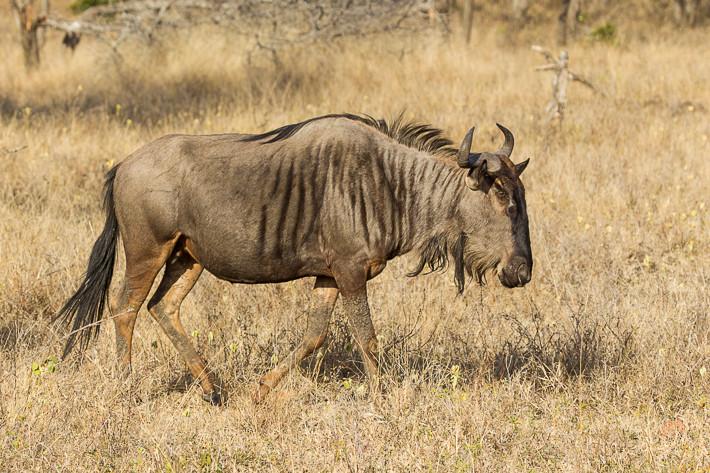 Streifengnu (Connochaetes taurinus) / Blue wildebeest