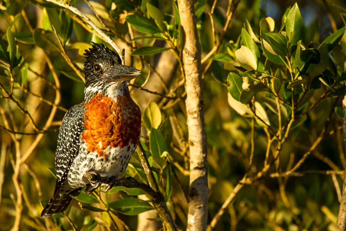 Riesenfischer (Megaceryle maxima) / Giant Kingfisher