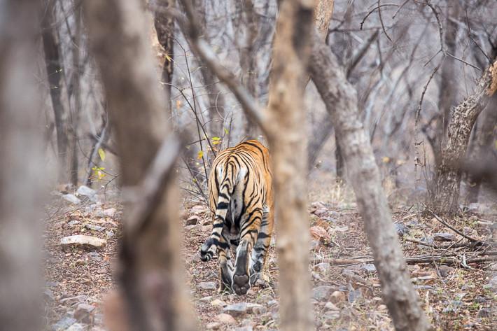 Königstiger (Panthera tigris tigris) / Bengal tiger