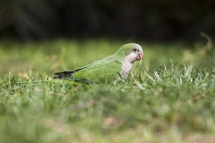 """Wildlife in Barcelona im """"Parc de la Ciutadella"""": Der Mönchssittich (Myiopsitta monachus) / Monk Parakeet"""