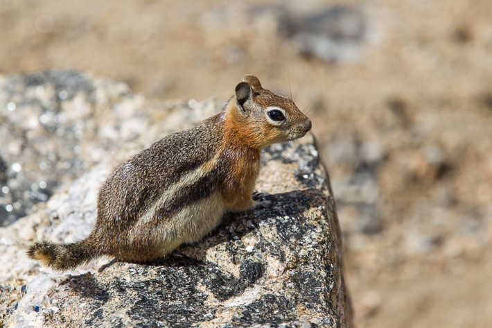 Goldmantel-Ziesel (Spermophilus lateralis) / golden-mantled ground squirrel