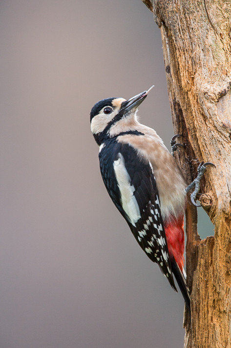 Buntspecht (Dendrocopos major) / Great Spotted Woodpecker