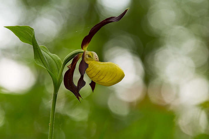 Gelber Frauenschuh (Cypripedium calceolus) / Cypripedium calceolus