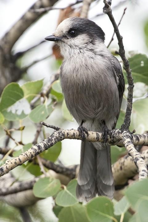 Meisenhäher (engl. Gray Jay, Perisoreus canadensis)