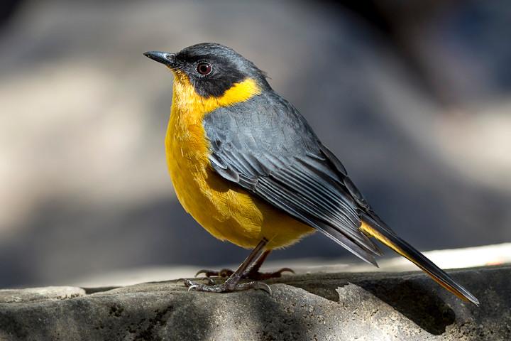 Ein in den Drakensbergen verbreiteter Vogel: Spottrötel (Cossypha dichroa) / Chorister Robin-Chat