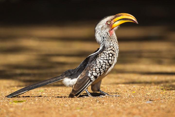 Südlicher Gelbschnabeltoko (Tockus leucomelas) / Southern Yellow-billed Hornbill