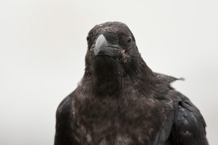 Der Common Raven sehr nah! Der Rabe war sehr neugierig und kam immer näher auf mich zu.
