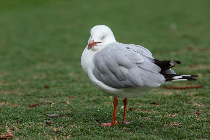 Silberkopfmöwe (Chroicocephalus novaehollandiae) / Silver Gull