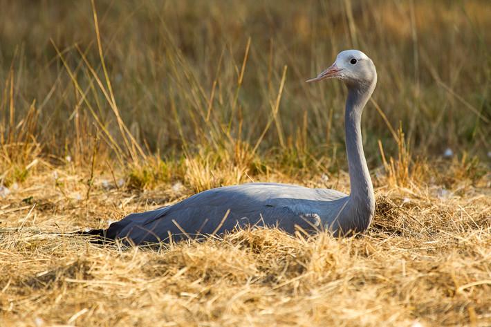 Der Paradieskranich (Anthropoides paradisea) gilt als Nationalvogel Südafrikas (Aufnahme aus dem Krüger Nationalpark, Südafrika).