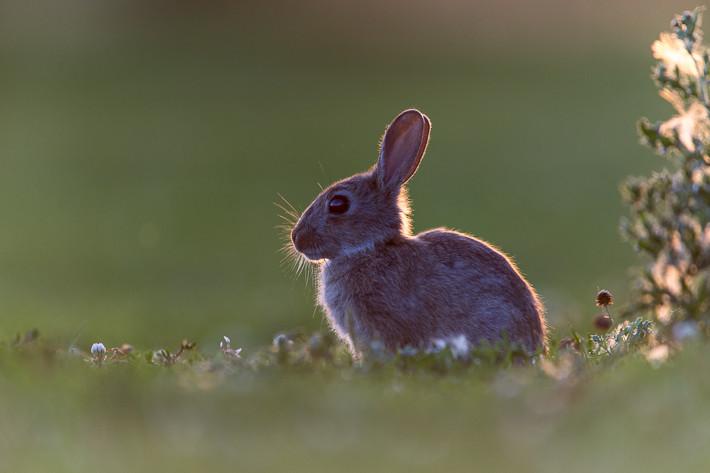 Kaninchen im Gegenlicht!