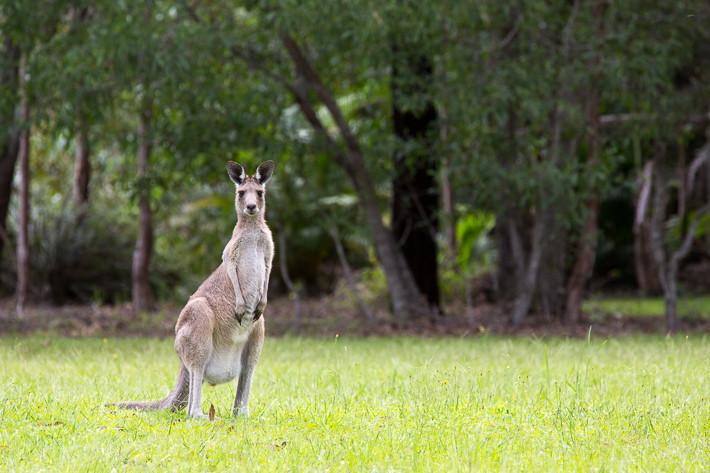 Kangaroo in Australia!