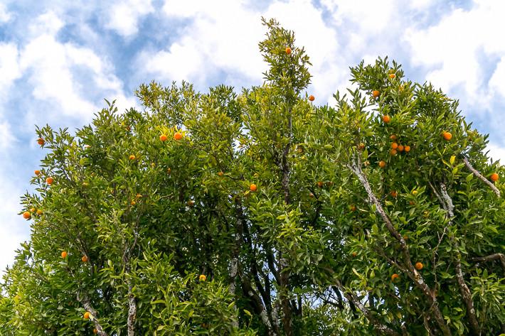 Klima in Bhutan: Wie unschwer zu erkennen ist, handelt es sich hier um einen Orangenbaum mit (frischen) Früchten.