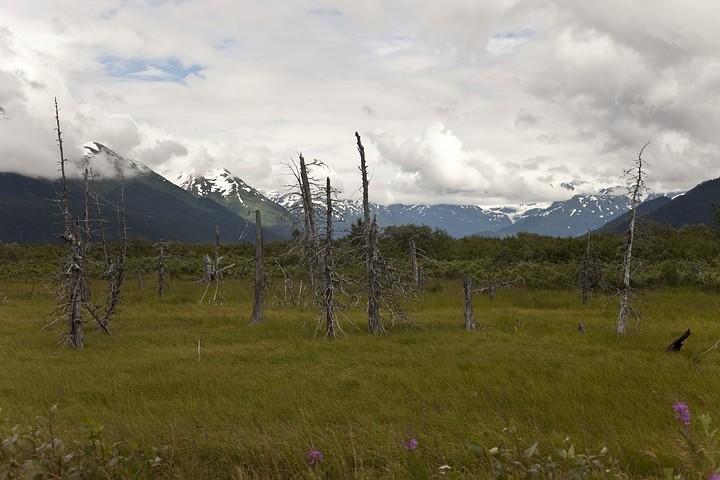 """Der """"ertrunkene Wald"""". Er entstand nach dem Erdbeben 1964. Das Land sackte um 1,2 Meter ab und wurde überschwemmt."""