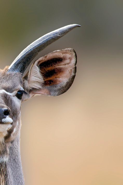 Großer Kudu (Tragelaphus strepsiceros) - Greater kudu
