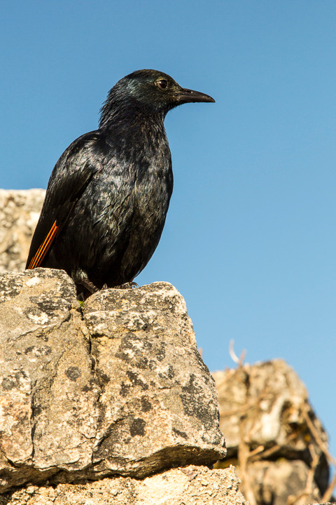 Red-winged Starling, South Africa.