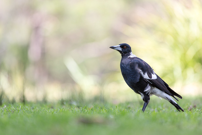 Flötenvogel (Gymnorhina tibicen) / Australian Magpie