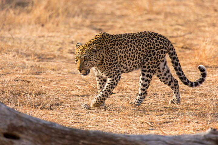 Leopard (Panthera pardus), Kruger National Park, South Africa