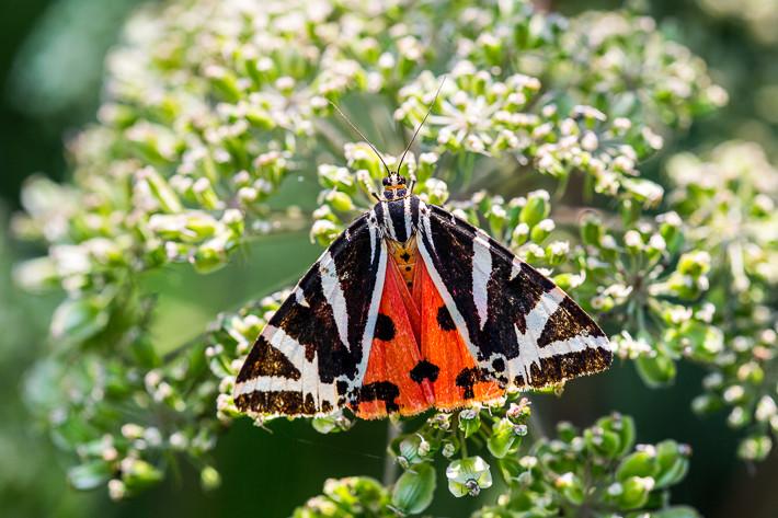 Gegenlichtfotografie - Die Schmetterlinge lieben den Wasserdost (Eupatorium).