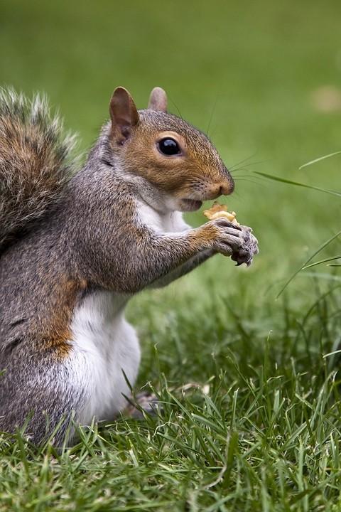 Grauhörnchen (Sciurus carolinensis / Eastern gray squirrel) im Londoner Hyde Park.