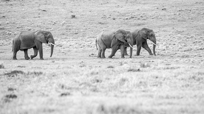 Gruppe von Elefanten in black/white