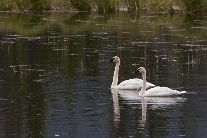 Trompeterschwan (engl. Trumpeter Swan, Cygnus buccinator)