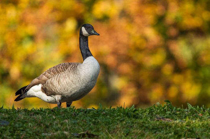 Kanadagans (Branta canadensis) / Canada Goose