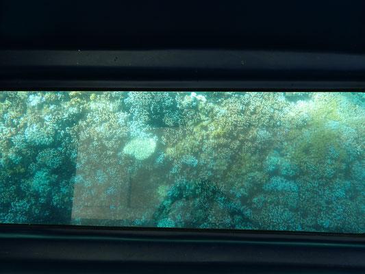 グラスボートから見えるアオサンゴ