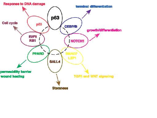 図4 p63と相互作用する表皮に関係した転写因子